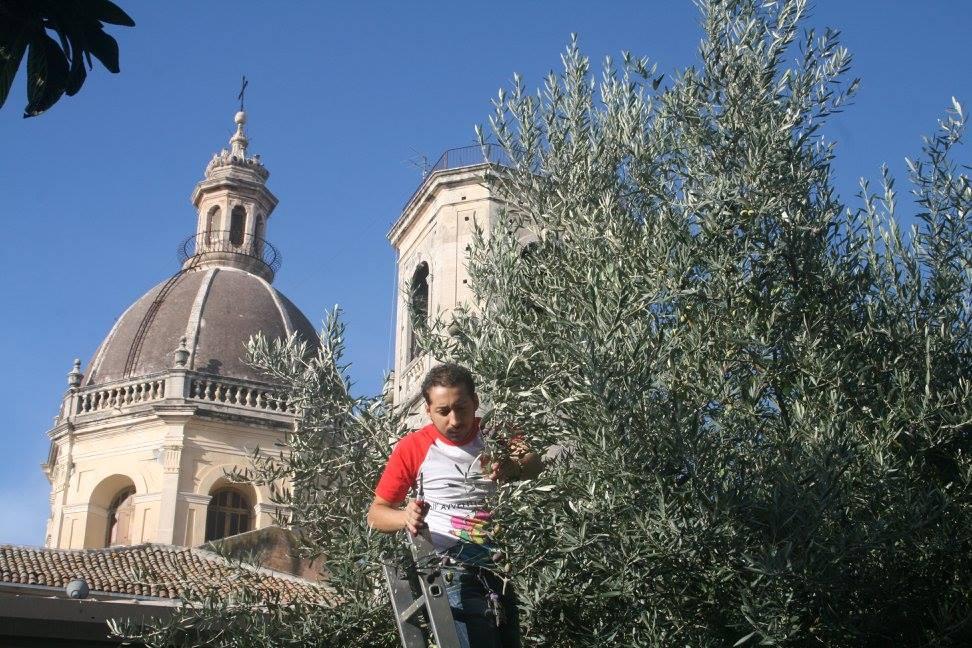 Un ritorno al passato ad Aci San Filippo con la raccolta delle olive per l'ACR